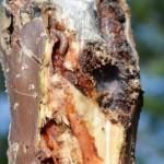 Incidencia de Hypsipyla Grandella Zeller en cedro real (Cedrela odorata) y caoba del pacífico (Swietenia humilis) en un sistema Taungya