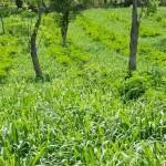 Evaluación de los factores asociados a la sobrevivencia de Leucaena Leucocephala en un sistema Silvopastoril, pasturas en callejones, con árboles dispersos en potreros