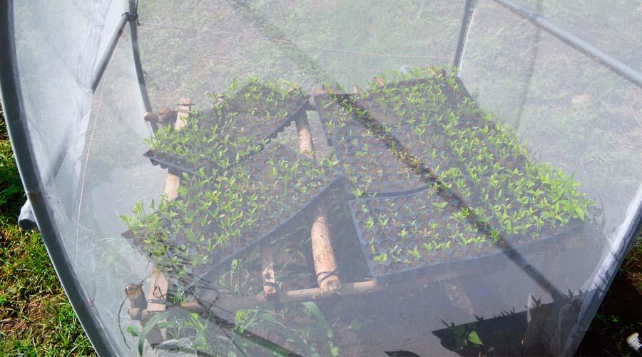 Importancia del Semillero en el cultivo de chiltoma