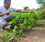 ALBAHACA (Ocimum basilicum L.) SU CRECIMIENTO Y DISPONIIBBILIDAD DE BIOMASA PARA CONSUMO FRESCO, UNIAV-RIVAS, MARZO 2017